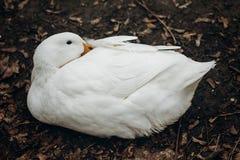 Primo piano dell'anatra bianca sveglia che riposa sulla terra, animale da allevamento - Fotografia Stock Libera da Diritti