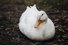 Primo piano dell'anatra bianca sveglia che riposa sulla terra, animale da allevamento - Immagine Stock