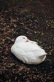 Primo piano dell'anatra bianca sveglia che riposa sulla terra, animale da allevamento - Fotografia Stock