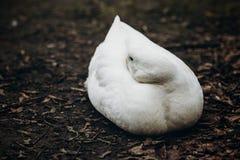 Primo piano dell'anatra bianca sveglia che riposa sulla terra, animale da allevamento - Immagini Stock