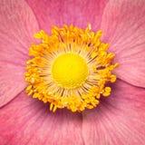 Primo piano dell'anemone Immagine Stock