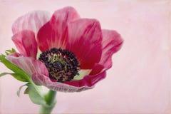 Primo piano dell'anemone flower2 Immagini Stock Libere da Diritti