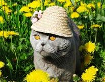 Primo piano dell'animale del gatto del popolare dello Scottish Immagini Stock