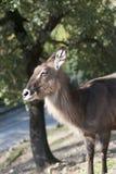 Primo piano dell'antilope Fotografie Stock