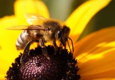 Primo piano dell'ape Immagini Stock Libere da Diritti