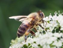 Primo piano dell'ape Fotografia Stock Libera da Diritti