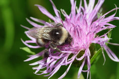 Primo piano dell'ape Immagine Stock