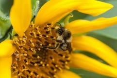 Primo piano dell'ape al girasole fotografia stock libera da diritti