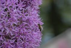 Primo piano dell'ape che impollina i fiori a forma di stella porpora immagini stock libere da diritti