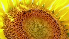 Primo piano dell'ape d'impollinazione sul girasole, concetto del duro lavoro video d archivio
