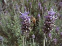 Primo piano dell'ape del miele che raccoglie polline da un fiore della lavanda Immagini Stock Libere da Diritti