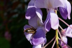 Primo piano dell'ape mellifica sui fiori di glicine in un giardino immagini stock libere da diritti