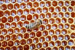 Primo piano dell'ape sul favo in alveare, arnia, fuoco selettivo fotografia stock