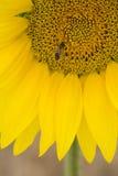 Primo piano dell'ape sul girasole Fotografia Stock