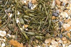Primo piano dell'ascophyllum nodosum dell'alga, comunemente fuco dell'uovo. Immagine Stock