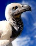 Primo piano dell'avvoltoio Fotografia Stock