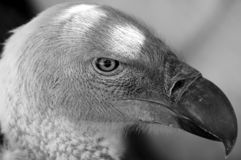 Primo piano dell'avvoltoio del capo Fotografie Stock Libere da Diritti