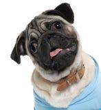 Primo piano dell'azzurro da portare del cucciolo del Pug Fotografia Stock