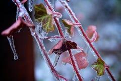 Edera coperta di ghiaccio Fotografia Stock Libera da Diritti