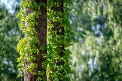 Primo piano dell'edera sui tronchi di albero fotografie stock