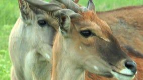 Primo piano dell'eland africano capo stock footage