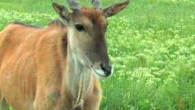 Primo piano dell'eland capo video d archivio