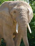 Primo piano dell'elefante africano fotografia stock