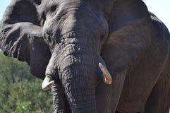 Primo piano dell'elefante africano Fotografia Stock Libera da Diritti