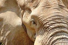 Primo piano dell'elefante africano Immagine Stock