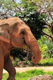 Primo piano dell'elefante asiatico femminile Immagini Stock Libere da Diritti