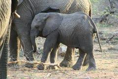 Primo piano dell'elefante del bambino nella savanna Fotografie Stock