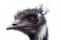 Primo piano dell'emù Fotografia Stock Libera da Diritti