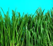 Primo piano dell'erba Fotografie Stock