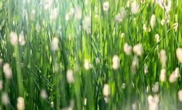 Primo piano dell'erba ad una contro-luce come fondo Fotografia Stock