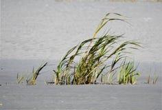 Primo piano dell'erba della riva che soffia nel vento fotografie stock