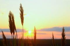 Primo piano dell'erba di Reed sulla luce di tramonto Fotografia Stock