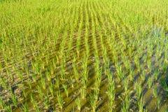 Primo piano dell'erba di riso Fotografia Stock Libera da Diritti