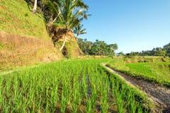 Primo piano dell'erba di riso Fotografia Stock