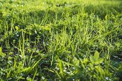 Primo piano dell'erba, molla, fondo Fotografia Stock