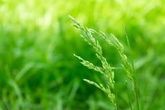 Primo piano dell'erba verde, spighette di erba su un fondo vago Fondo luminoso dell'erba di colore fotografia stock