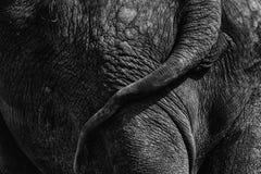 Primo piano dell'estremità posteriore dell'elefante Fotografia Stock