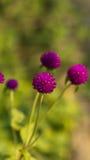 Primo piano dell'fiori rotondi porpora in un campo Immagini Stock