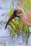 Primo piano dell'ibis di Hadeda Fotografia Stock Libera da Diritti
