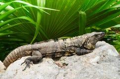Primo piano dell'iguana Fotografie Stock