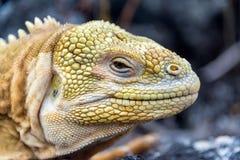 Primo piano dell'iguana della terra fotografia stock libera da diritti