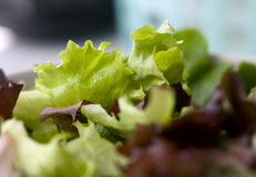 Primo piano dell'insalata mista della lattuga Fotografia Stock