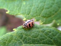 Primo piano dell'insetto della coccinella di Ladybird su una foglia Fotografia Stock