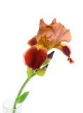 Primo piano dell'iride del fiore su priorità bassa bianca. Fotografie Stock Libere da Diritti