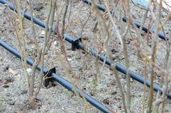 Primo piano dell'irrigazione a goccia Tubo dell'irrigazione a goccia in piante decorative Immagine Stock