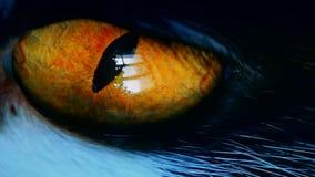 Primo piano dell'occhio arancio del ` s del gatto aperto e di sorveglianza eccellente modificato archivi video